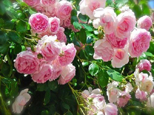 Mơ thấy hoa hồng là điềm báo gì, đánh con số nào may mắn?