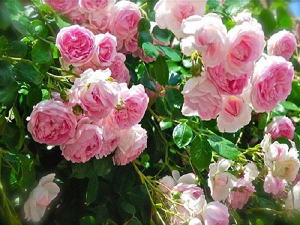 Điềm báo mơ thấy hoa hồng