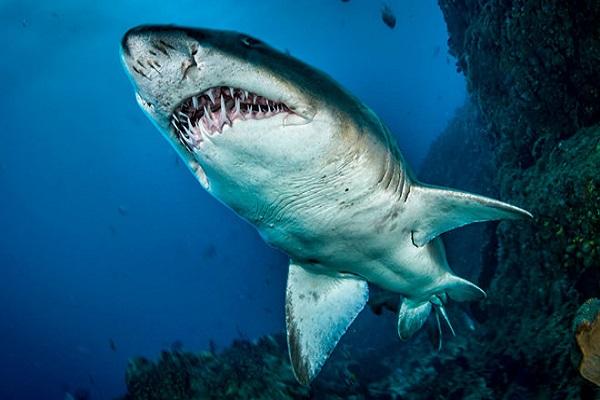 Vì sao lại mơ thấy cá mập