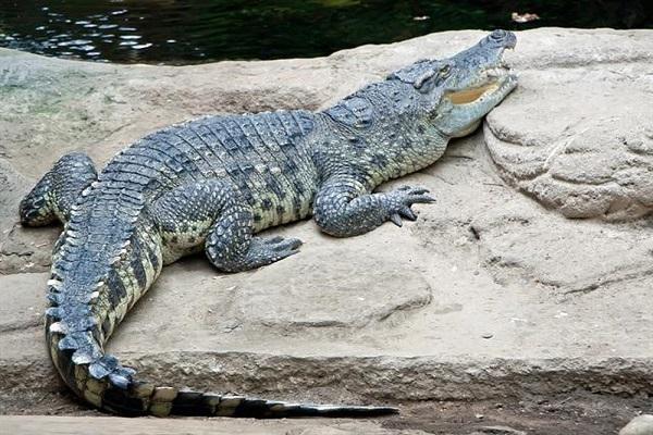 Điềm báo mơ thấy cá sấu