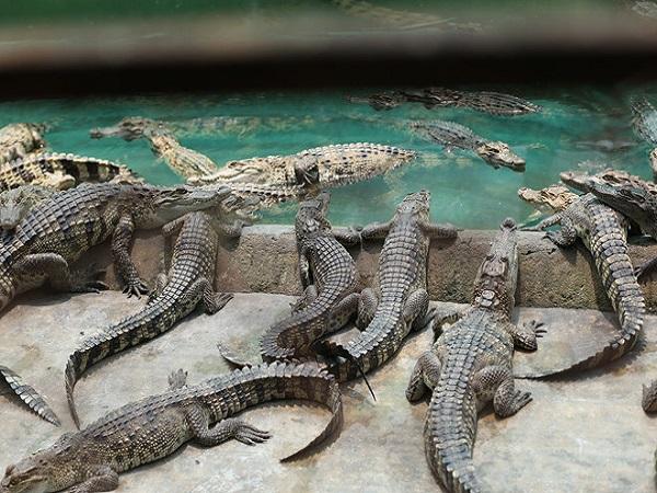 vì sao lại mơ thấy cá sấu