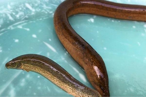 Điềm báo trong giấc mơ thấy con lươn