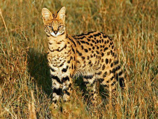 Nằm mộng thấy mèo rừng có những ý nghĩa gì đặc biệt?