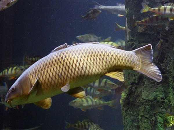 Nằm mơ thấy cá trắm thường mang đến điềm báo gì
