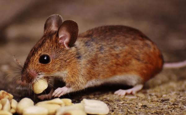 Giấc mơ thấy con chuột là điềm báo trước gì?
