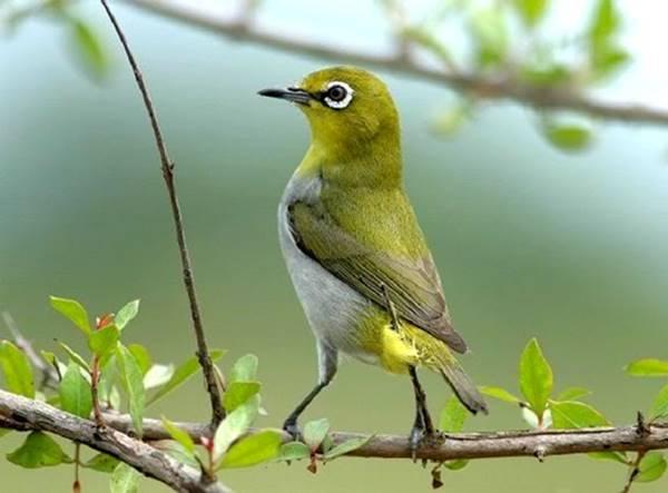 Nằm mơ thấy con chim vành khuyên