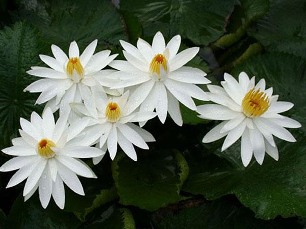 Mơ thấy hoa màu trắng là điềm báo điều gì?
