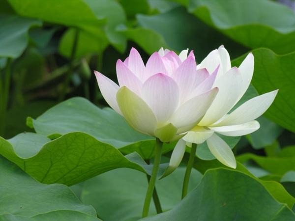 Mơ thấy hoa sen là điềm báo lành hay dữ?