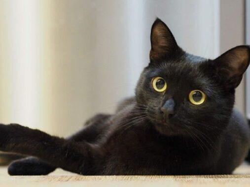 Mơ thấy mèo đen có phải điềm xui – Luận giải giấc mơ thấy mèo đen