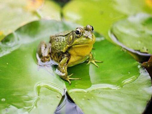 Ngủ mơ thấy con ếch là điềm tốt hay xấu ? Đánh đề con gì chắc trúng ?