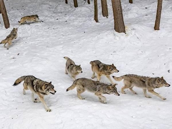 Mơ thấy sói đánh con gì phát tài? Là điềm báo hên hay xui?