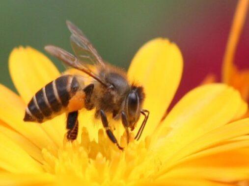 Chiêm bao mơ thấy ong đánh con gì? số mấy?