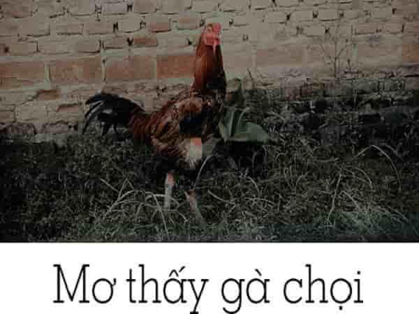 Chiêm bao mơ thấy gà chọi đánh con gì?
